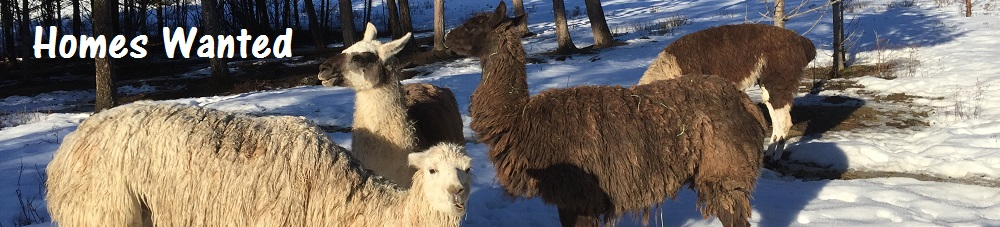 Llamas in Kelowna Urgently Need Help