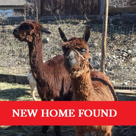 giving a home to an alpaca, alpaca rescue in Canada