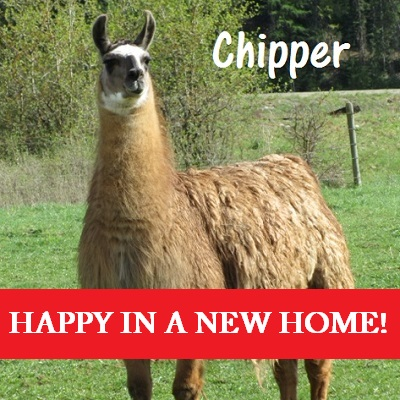 finding homes and providing respite care for llamas and alpacas in need