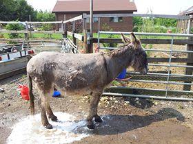 donkey bath
