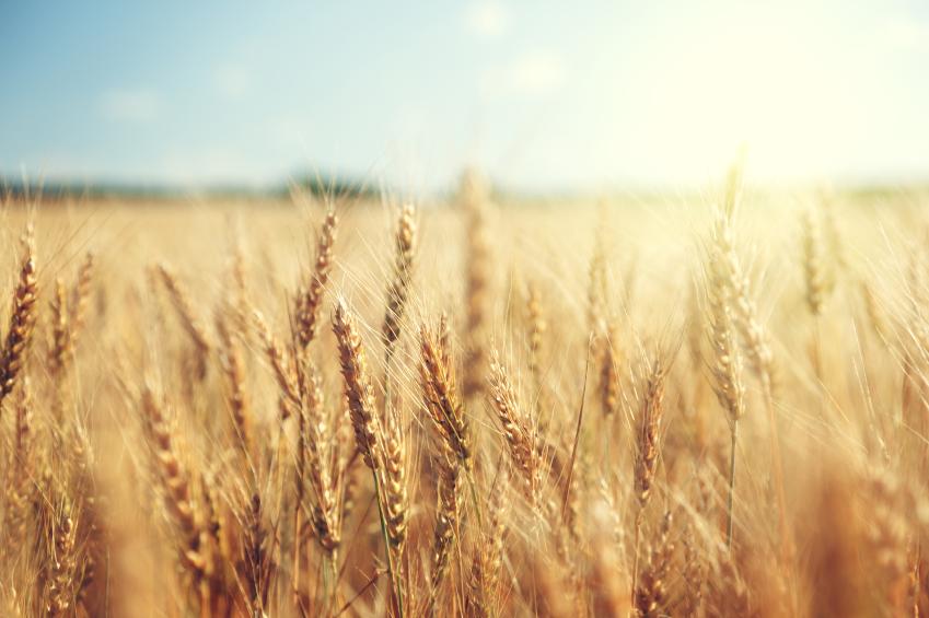 Summer Wheat Harvest