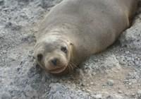 Sea Lion Galapagos