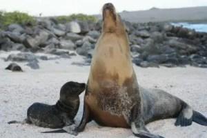 Mom & Baby Sea Lion Galapagos