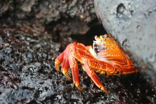 galapagos Crabs