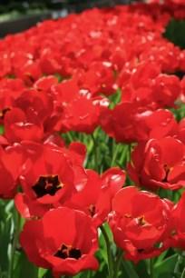 Chicago Tulips