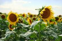 Sunflowers USA