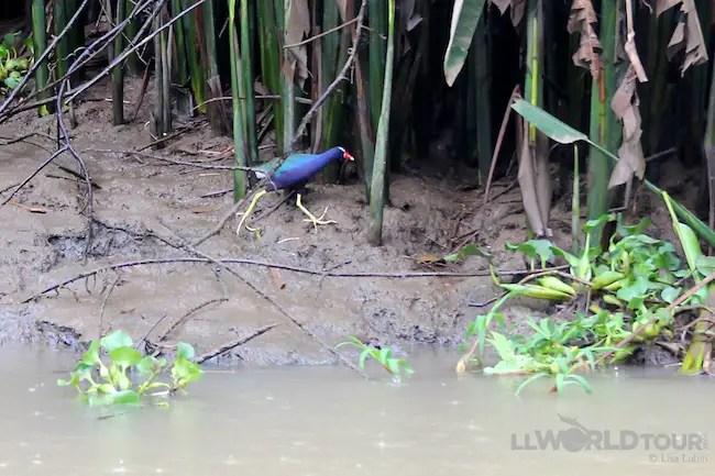 The Purple Gallinule