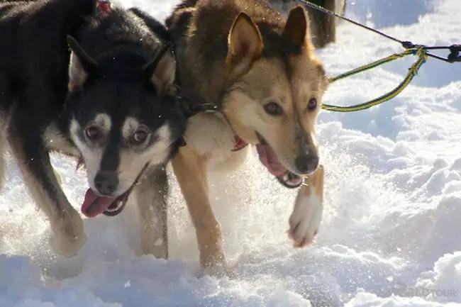 Dog Sledding huskies