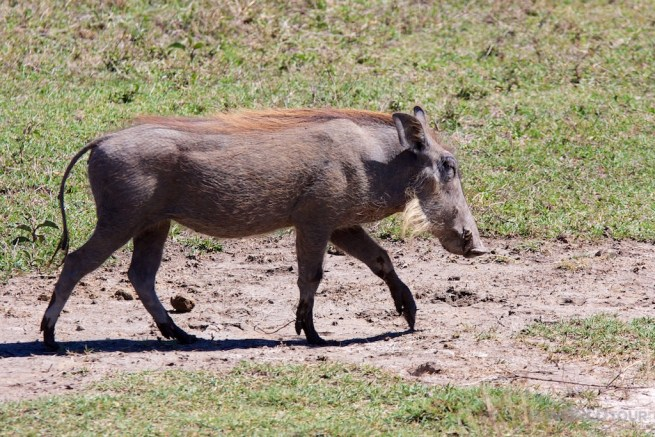Ngorongoro Crater Warthog