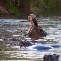 Hippo Pool Serengeti