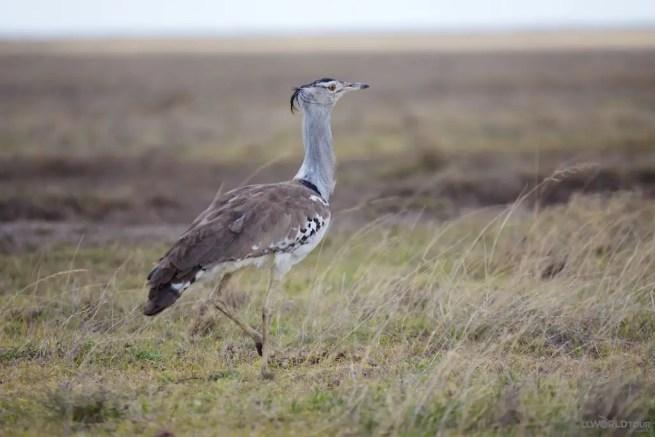 Serengeti Kori Bustard