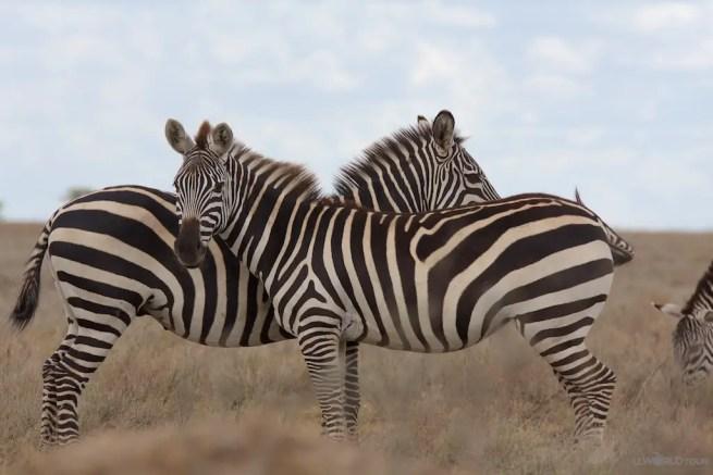 Serengeti Park Zebra Duo