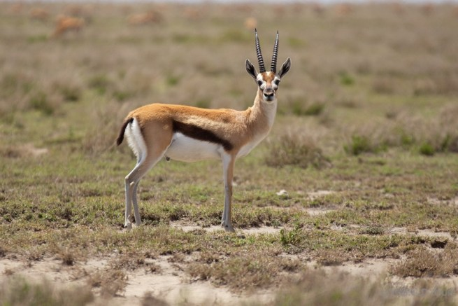 Thomson's Gazelle Serengeti