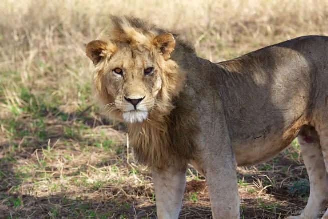 Lion Tarangire