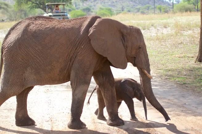 Tarangire Park Elephants