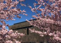 cherry-blossoms-naamhc