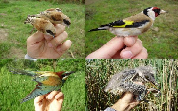 Leva obala deo Međunarodnog projekta zaštićenih vrsta ptica16.1.2015.-01-03