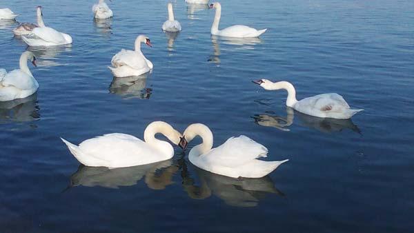 Leva obala deo Međunarodnog projekta zaštićenih vrsta ptica16.1.2015.-01-05