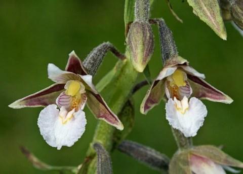 Divlje orhideje na levoj obali Beograda uskoro pod zaštitom