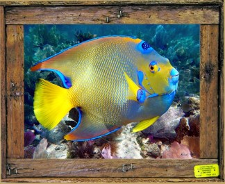"""QUEEN ANGELFISH"""