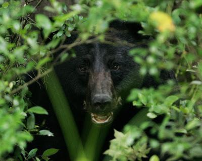 Bear Loads Tested (12 Gauge,  45-70,  500 S&W Magnum) — The