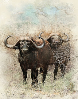 Up Close and Personal (Heart Pounding Cape Buffalo Charge Video)