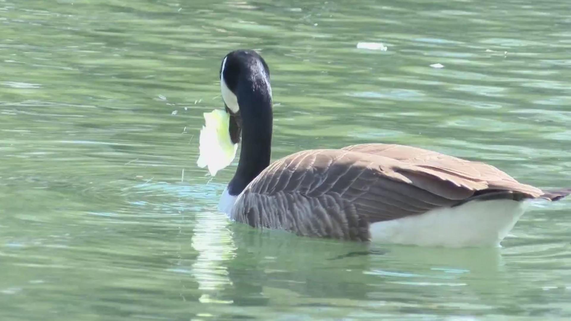 Feeding_geese_0_20190408225512