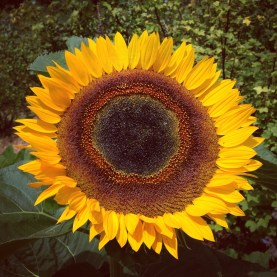 Planet Local Sunflower