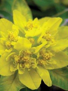 Cushion spurge euphorbia neon yellow perennial stunning spring plant