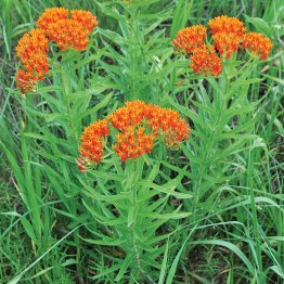 Asclepias tuberosa is the non-invasive variety of milkweed used in many gardens.