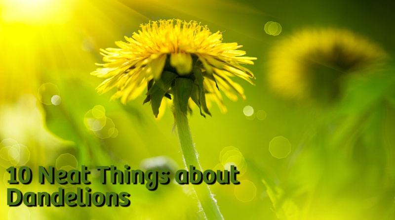 10 Neat things about dandelions