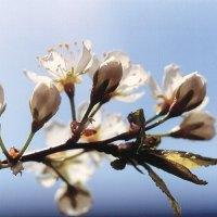 Canada plum (Prunus nigra) plant hardiness zone 3