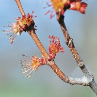 Red maple (Acer rubrum) plant hardiness zone 3