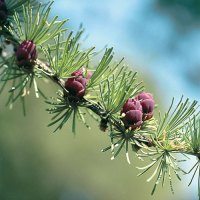 Tamarack (Larix laricina) plant hardiness zone 0