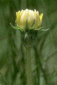 Taraxacum-californicum
