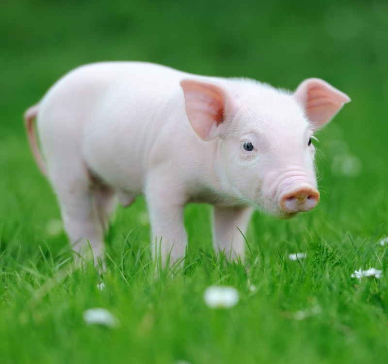interesting facts about pigs shoat