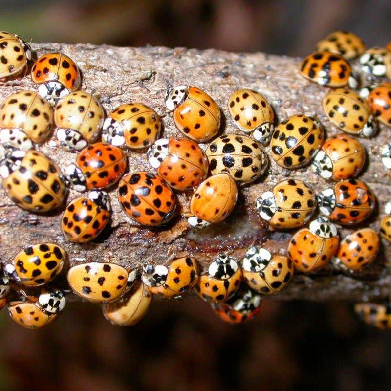 Swarm of Asian ladybugs