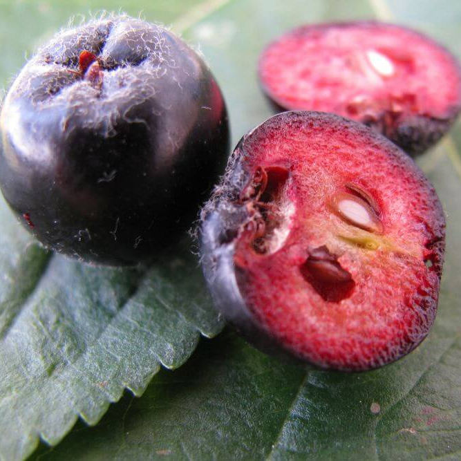 Chokeberry seeds
