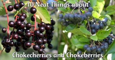 chokecherries and chokeberries