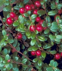 lowbush cranberry