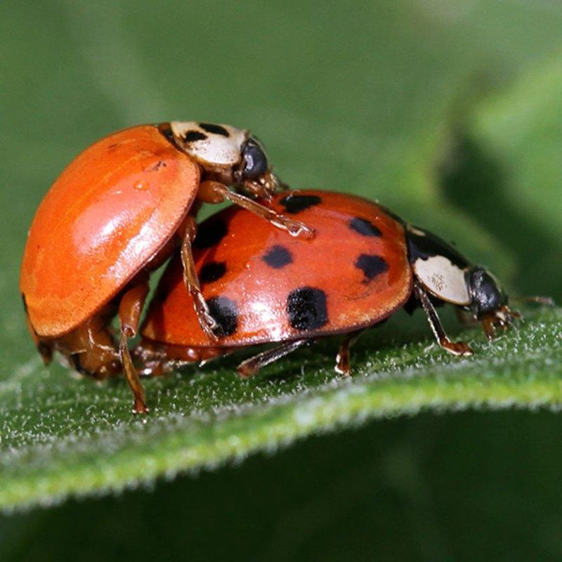 Asian ladybugs mating