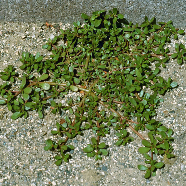 edible weeds portulaca