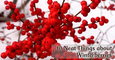 10 Neat Things about winter berries