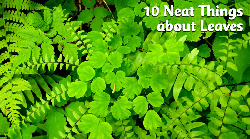 10 Neat Things about leaves