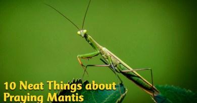 10 neat things about praying mantis
