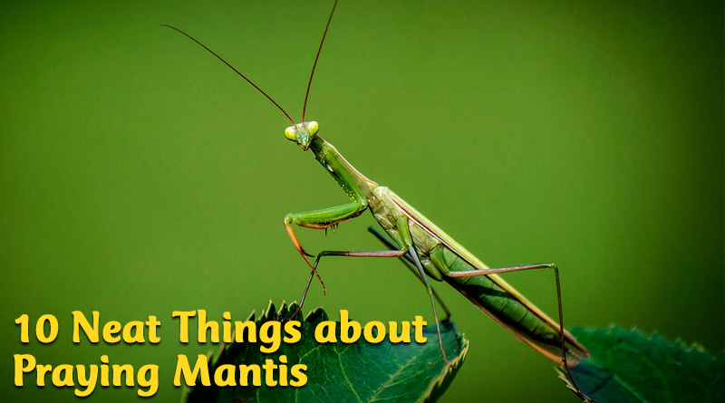 10 neat things about praying mantis