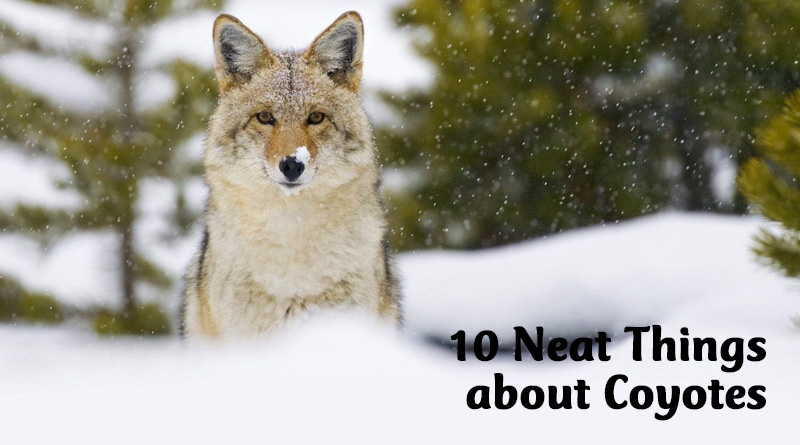10 neat things about coyotes