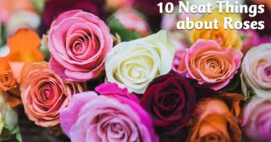 10 neat things about roses