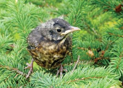 An adventurous robin fledgling in an evergreen tree.