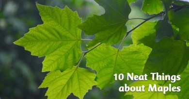 10 neat things about maples